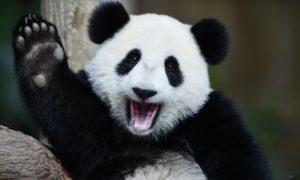 panda cosa sapere