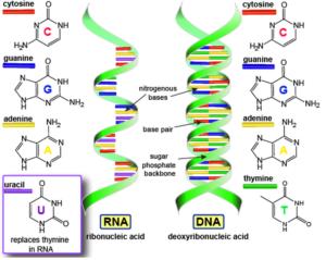 Ecco la differenza tra DNA e RNA.