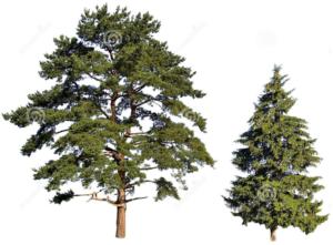 Ecco la differenza tra il pino e l'abete.
