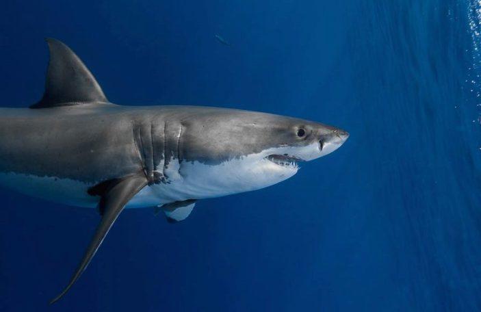 La lunghezza dello squalo bianco.