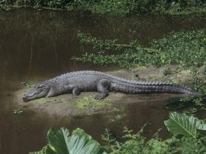 Il coccodrillo più grande del mondo.