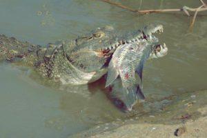 Ecco cosa mangia il coccodrillo.
