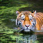 Ecco cosa mangia la tigre.