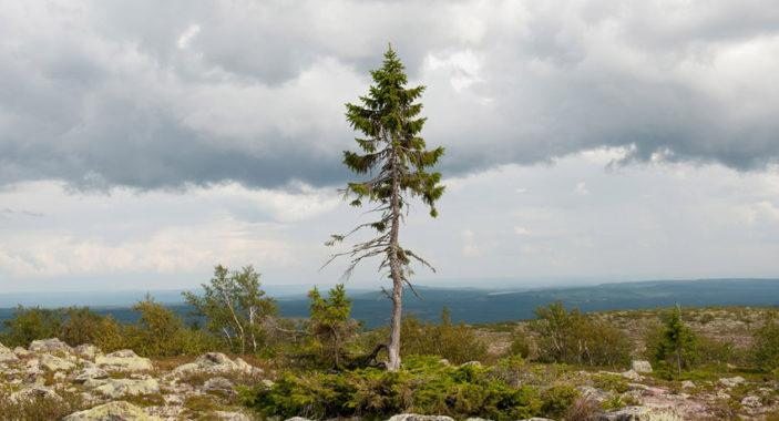 L'albero più vecchio del mondo.