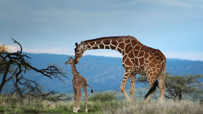Dove vive la giraffa