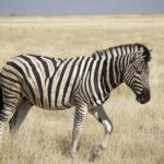 La zebra.