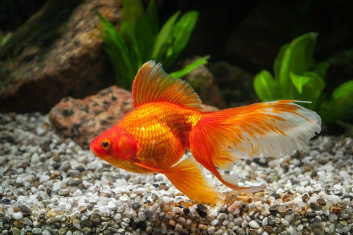 Ecco un bel pesce rosso.