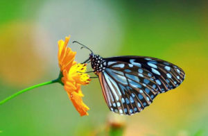 Le farfalle.
