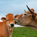 Il vitello e il manzo.