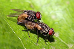 La mosca domestica.