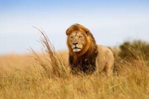 Ecco il leone.