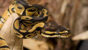 I serpenti più lunghi.