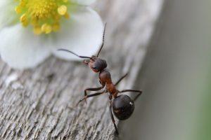 La formica.