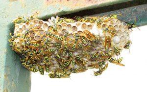 Il nido di vespe.