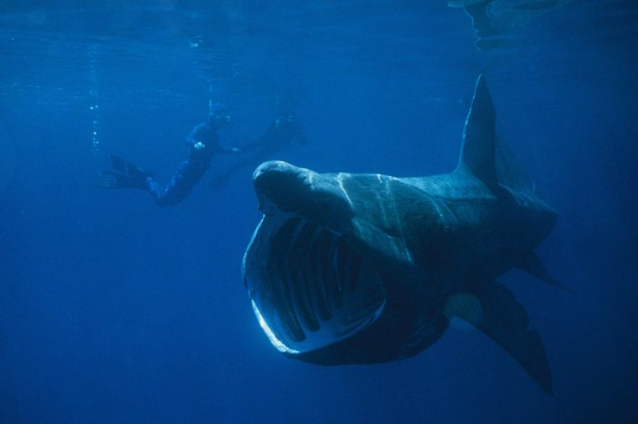 Lo squalo elefante.