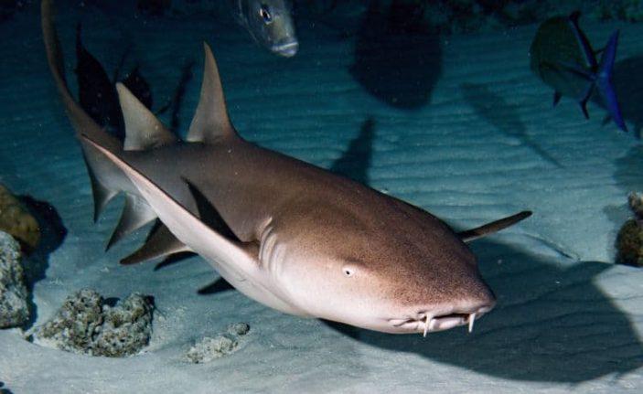 Lo squalo nutrice.