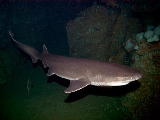 Ecco lo squalo manzo.