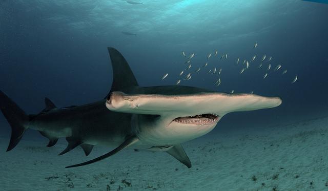 Ecco lo squalo martello maggiore.