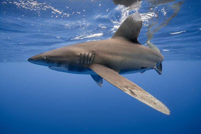 Lo squalo pinna bianca.