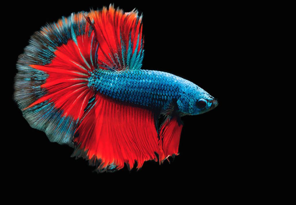 Il pesce combattente.
