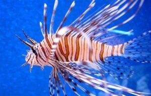 Il pesce scorpione.