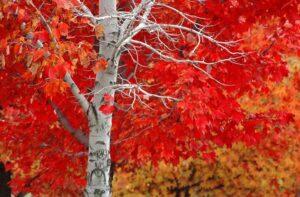 La quercia rossa.