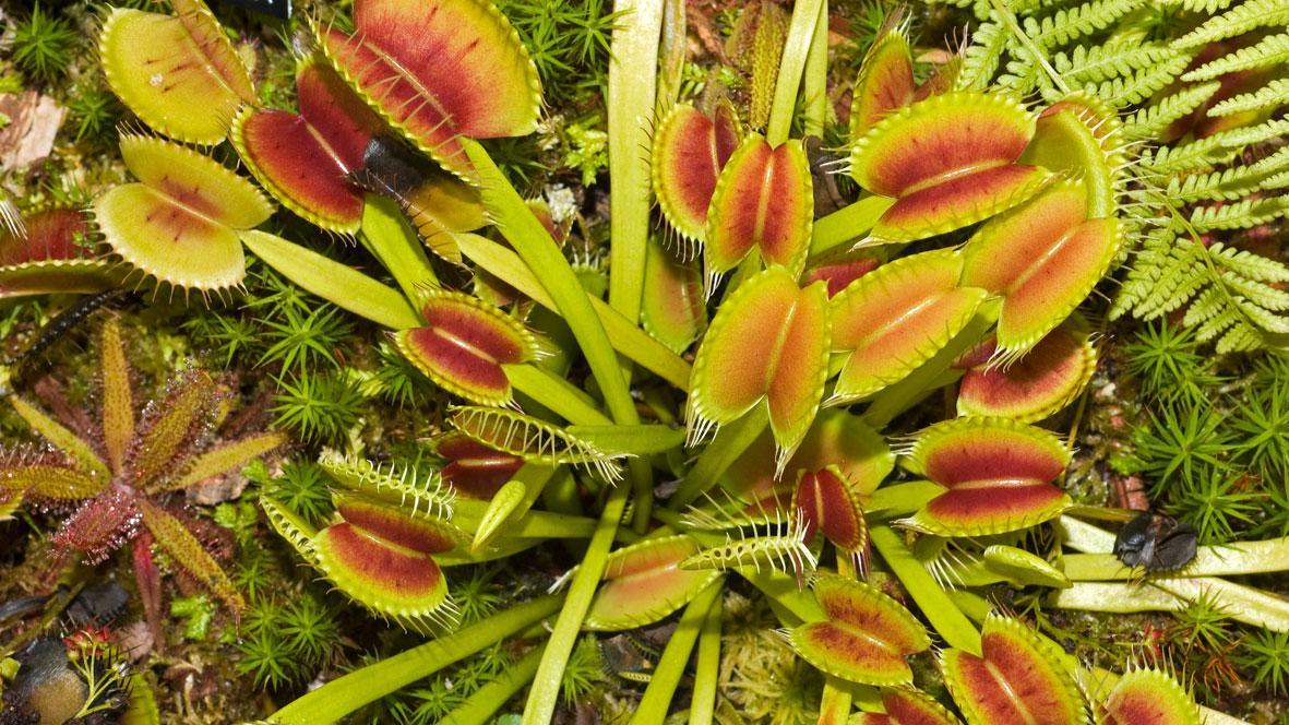La Dionaea Muscipula.