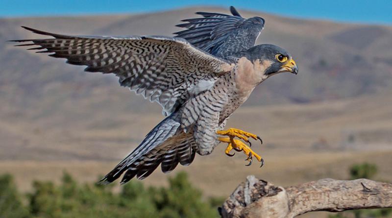 Il falco pellegrino.